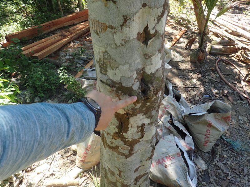 沈香のもとになる木が生えているところ