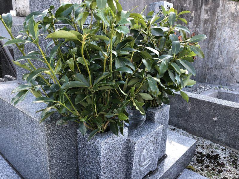 愛媛県でお墓に樒をお供えしたところ